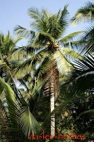 cocotier Vietnam.jpg