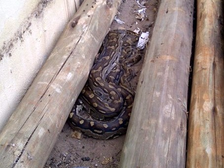 Python, about 6 feet long