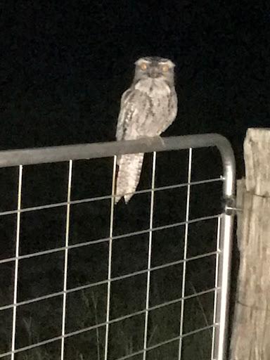 silver-owl-2017-11-11-06-49.JPG