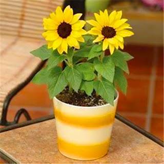 Fakta Menarik Bunga Matahari Yang Seru Untuk Dibaca 20 Fakta Menarik Bunga Matahari Yang Seru Untuk Dibaca