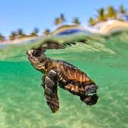 К чему снится черепаха в воде?