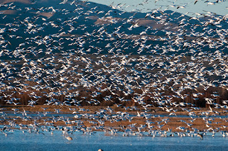 Photo: Snow geese landing
