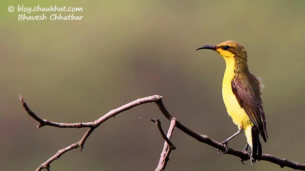 Female Olive-backed Sunbird [Also known as Yellow-bellied Sunbird] - Scientific name: Cinnyris jugularis