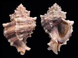 – inspirační zdroj  BioLib - Obrázek - Hexaplex trunculus (ostranka purpurová)_files