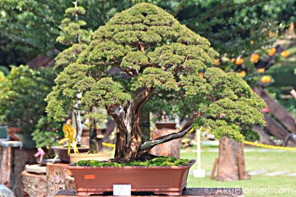 pokok bonsai pulau