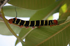 These caterpillars munch on my fragrant, pink frangipani tree.