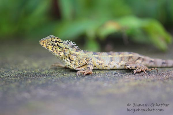 Macro photo of an oriental garden lizard