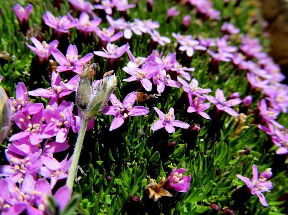 Silene acaulis (Moss Campion)