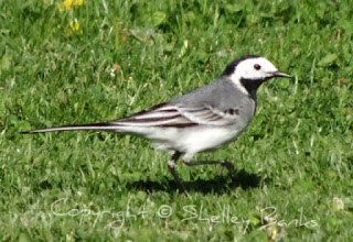 Pied Wagtail.Carassonne. Copyright © Shelley Banks, all rights reserved.