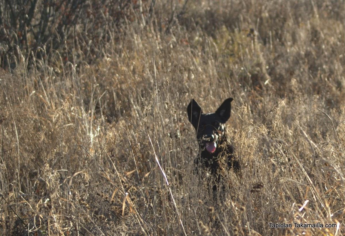 Labradorinnoutaja kesantopellossa