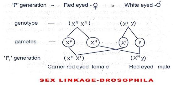 SEX LINKAGE-DROSOPHILA
