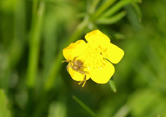 Thomisidae : Opzitia sp. ou Xysticus sp. ? . Hautes-Lisières (Rouvres, 28), 21 avril 2011. Photo : J.-M. Gayman