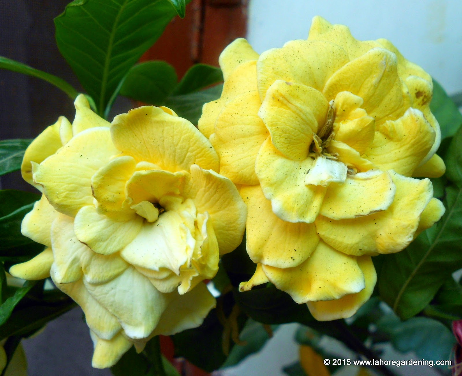 Cape Gardenia