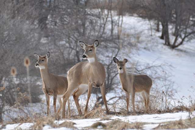 Three Deer standing in snow