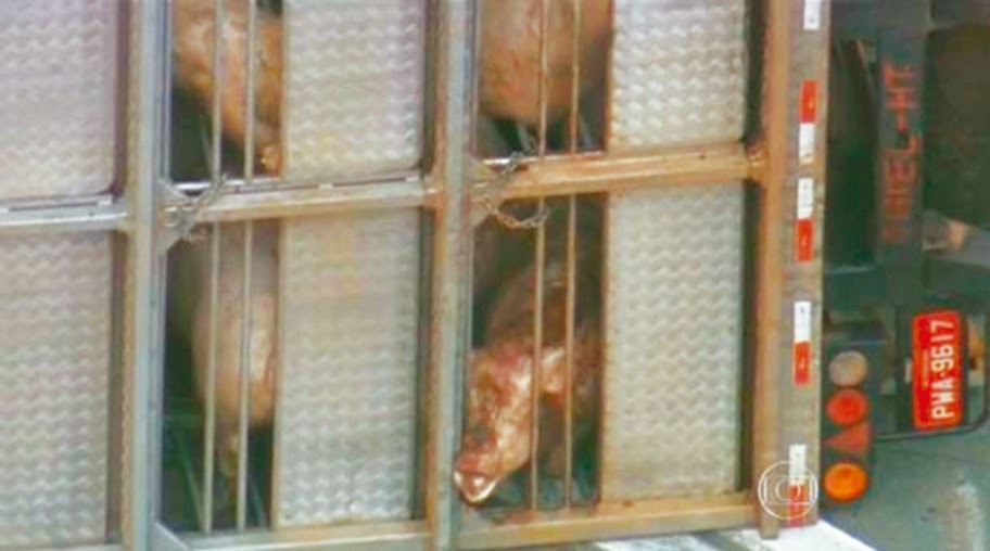 """Porcos resgatados de acidente no Rodoanel estão em """"santuário"""" no bairro Canguera"""