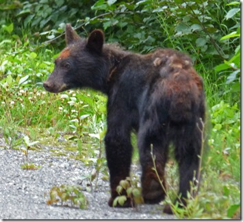 Young bear on Glacier Highway outside Stewart BC
