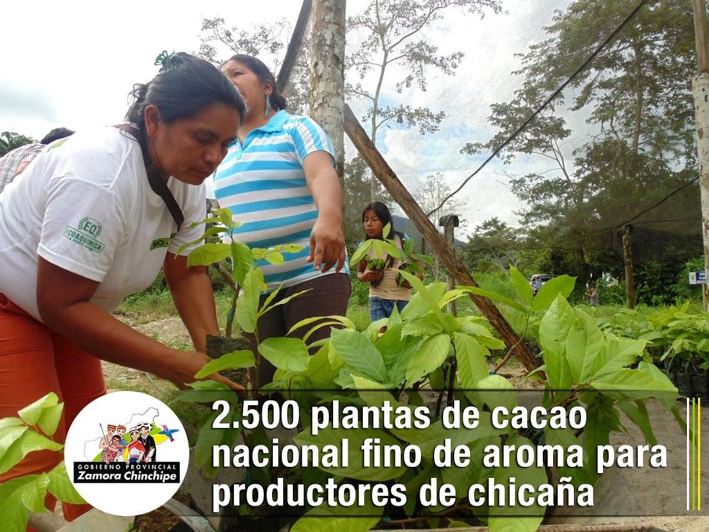 NUEVAS PLANTAS DE CACAO PARA PRODUCTORES DE CHICAÑA
