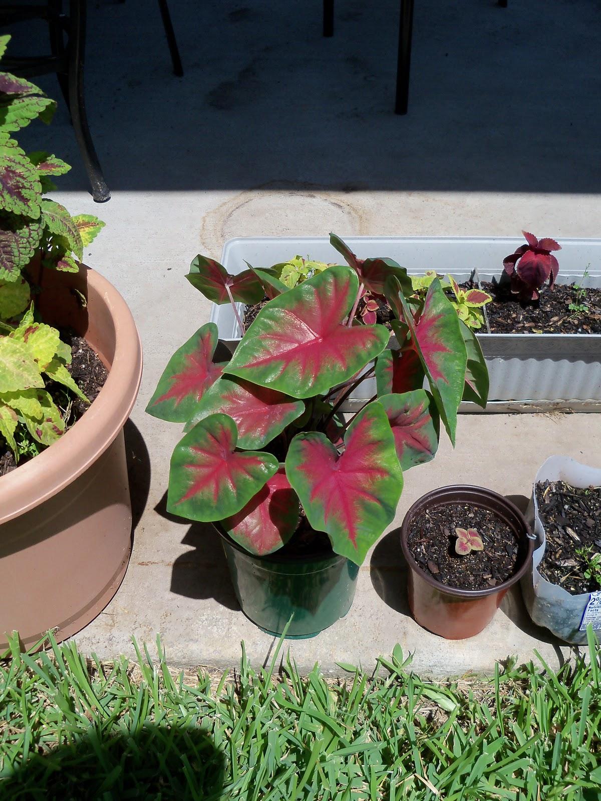 Gardening 2010, Part Three - 101_4473.JPG