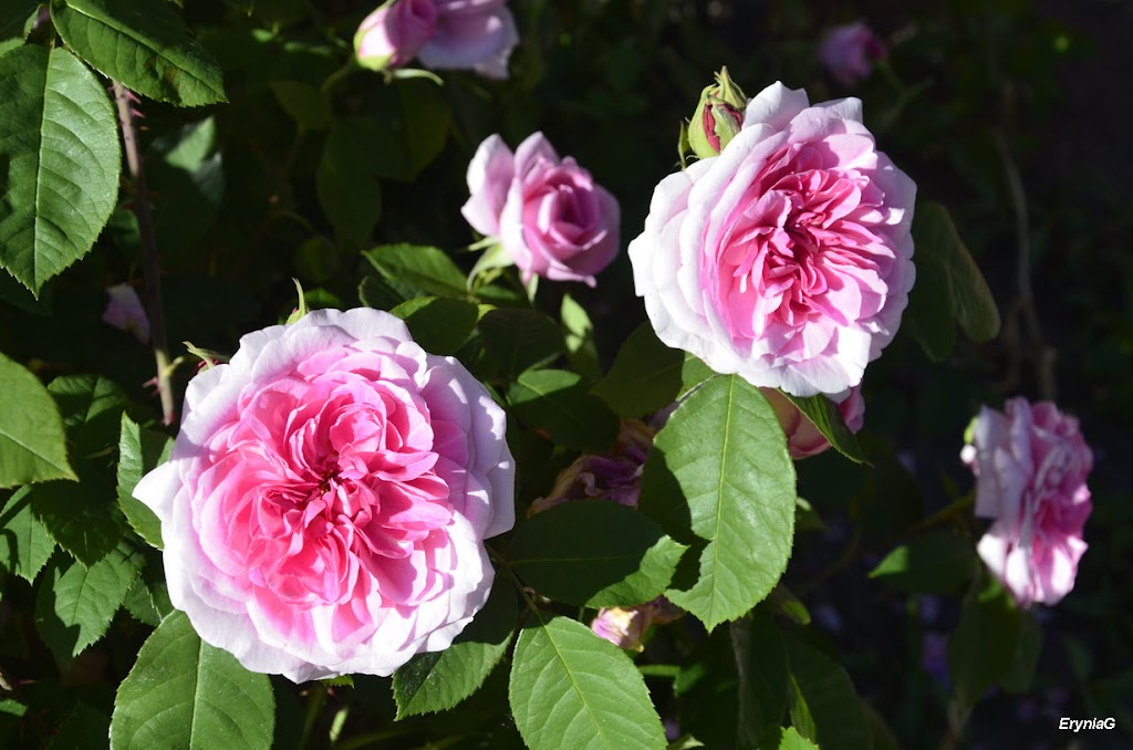 przypałacowe róże