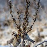 Обыкновенная чечётка (Carduelis flammea)