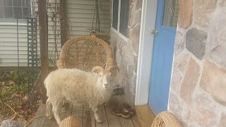 Sheep at the door yard