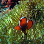 Clownfish (Cabilao)