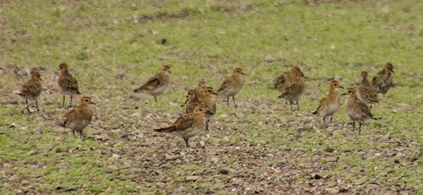 14-golden-plovers