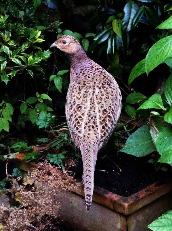 Pheasant by Lorraine H