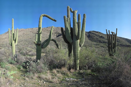 five-saguaros-at-saguaro-national-park-az-brian-lockett-2017-03-13-09-20.jpg