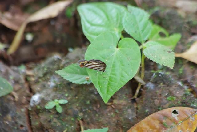Euptychia westwoodi BUTLER 1867 (?). Tunda Loma à Calderon (San Lorenzo, Esmeraldas), 28 novembre 2013. Photo : J.-M. Gayman