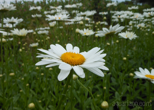 Field of Daisies Photo By Aquariann