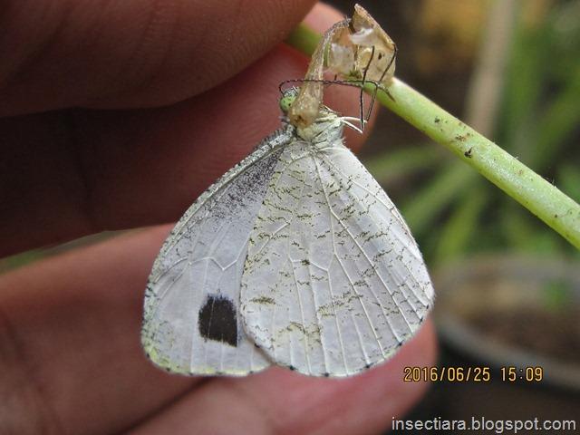 Kupu-kupu Leptosia nina baru menetas dengan probosis yang masih menempel di bekas kepompongnya_1