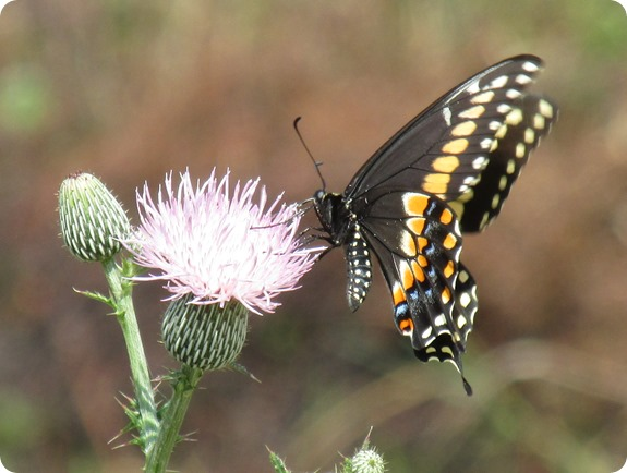 10 Black Swallowtail Butterfly (2)