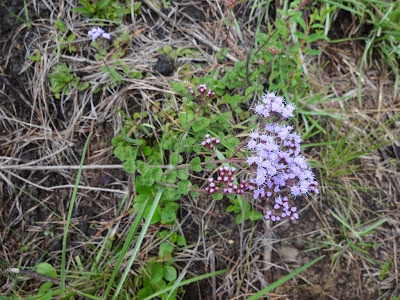 Chromolaena ascendens  http://sites.google.com/site/florasbs/home  São Bento do Sul - Santa Catarina