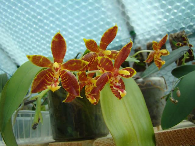 Phalaenopsis Mambo DSC09342