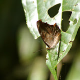 Myscelia orsis DRURY, 1782. Pulso (Ubatuba, SP), 12 février 2011. Photo : J.-M. Gayman