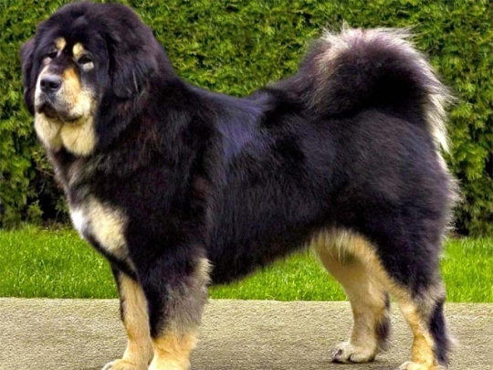 World's most outrageously expensive dogs 1