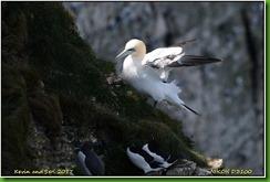 Bempton Cliffs - April