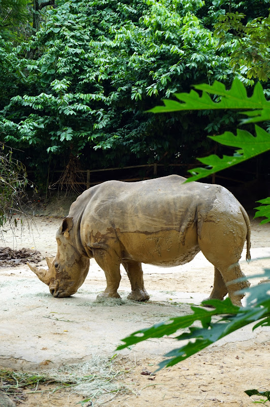 DSC05750 - White rhinocerus
