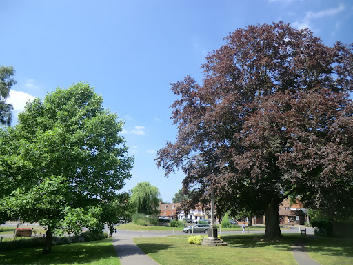 CIMG7469 Tulip tree and copper beech, Otford