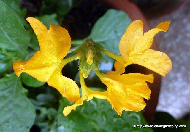 firecracker flower Crossandra infundibuliformis