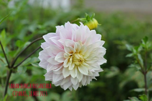 Bunga Puncak