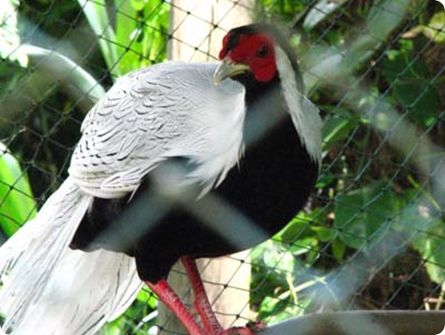 Biodiversity-Male_Silver_Pheasant