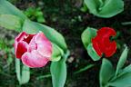 中山公园的郁金香