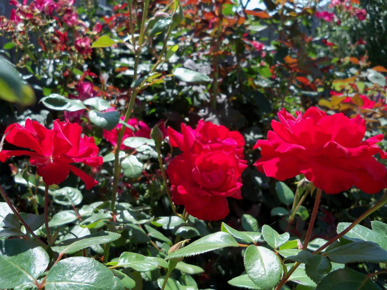 Gardening 2011 - 100_9175.JPG