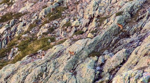 Des femelles mouflons au col de la descente