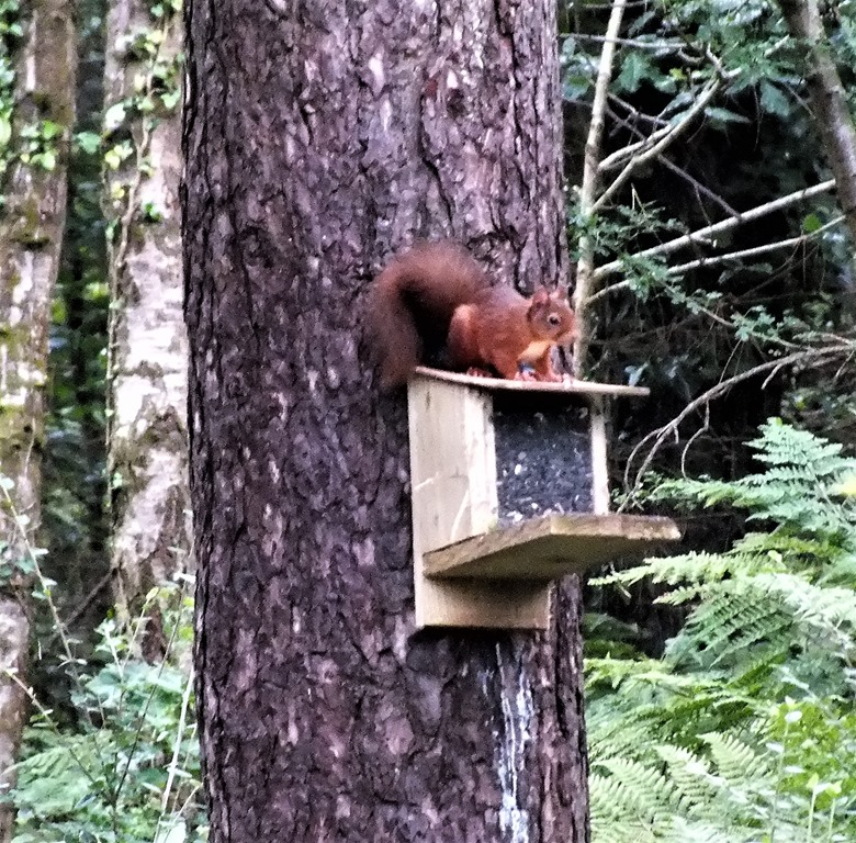 [red+squirrel+Newborough+forest+August+2017+%282%29%5B4%5D]
