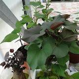 cultivo de meristemas para obtencion de batata libre de virus - 001.JPG