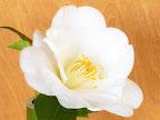 白色 極淡くピンクがかる 八重咲き 大輪
