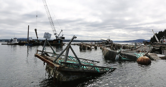 This was the view on 30 August 2017 of the destroyed pen No. 2 at Cooke Aquaculture's Atlantic salmon fish farm off Cypress Island. Photo: Alan Berner / The Seattle Times